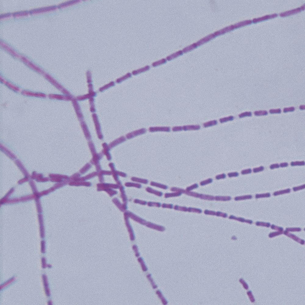 Bacterial Pathogens Microscope Slide Set