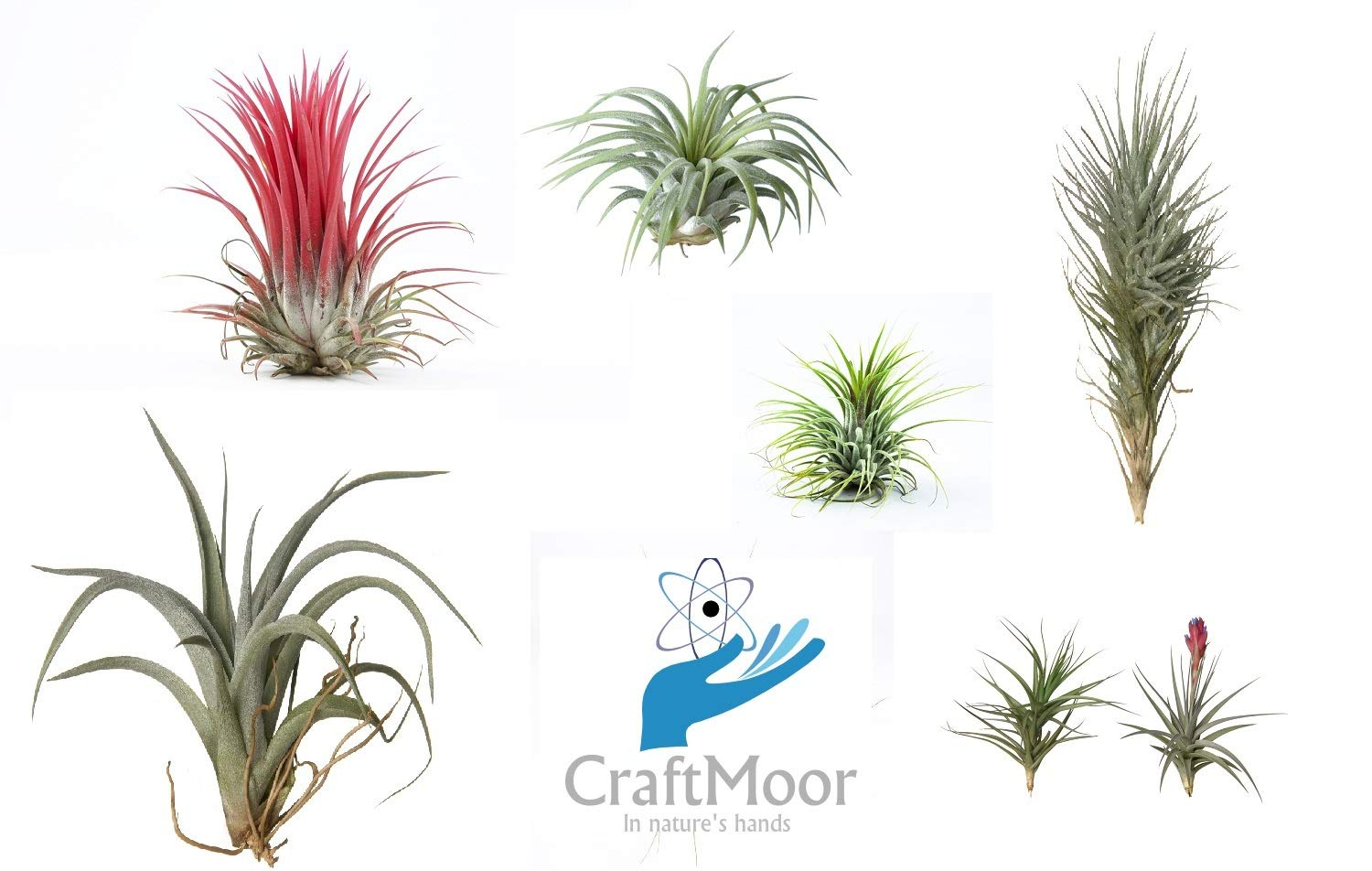 4X Craftmoor Tillandsia Air Plant Mix - Healthy, Strong, Fresh, Air Plants, Indoor Plants, Office Plant, Bathroom Plants, House Plants Craftmoor○