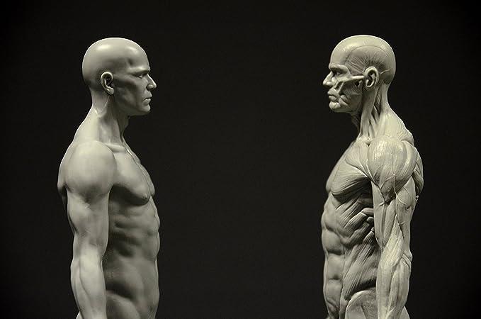 Earlywish Menschliche Zeichnung Modell Anatomie Körper Muskel ...