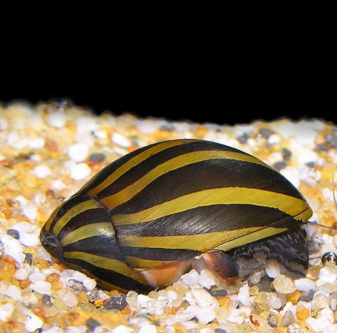 Live Freshwater Aquarium Fish - (12) Zebra Nerite Snails - 12 Pack of Zebra Nerite Snails - by WorldwideTropicals - Populate Your Fish Tank!