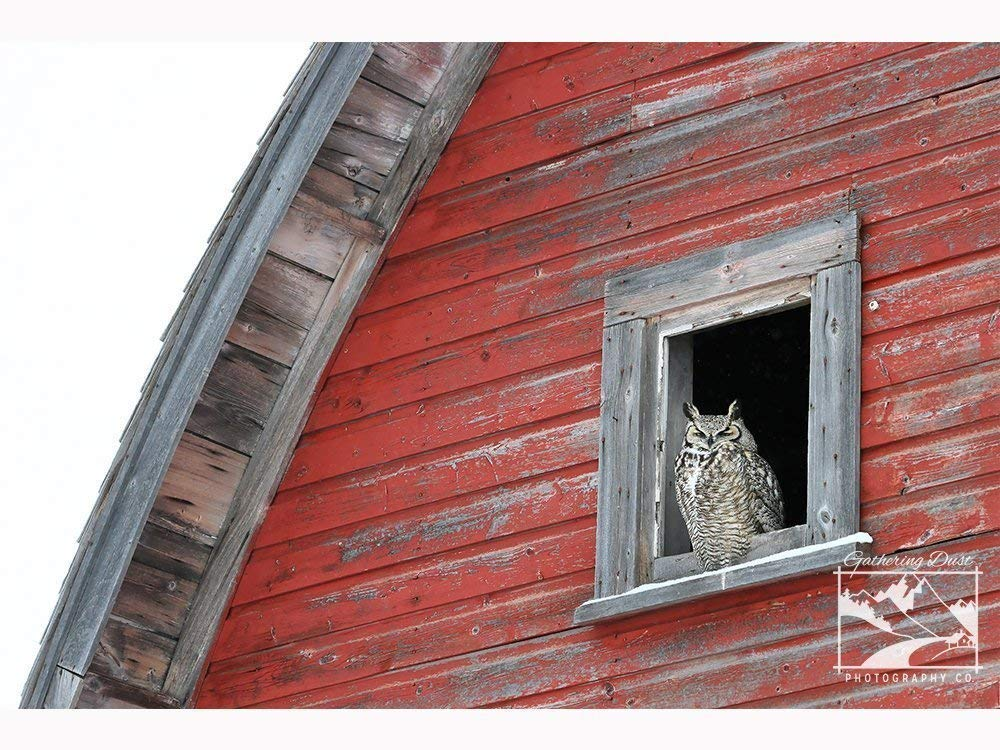 Owl in Barn Window – Wildlife Photography, Nature Photography, Wildlife, Nature, Owl, Home Décor, Wall Art Home Décor