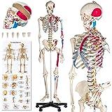 TecTake Squelette taille grandeur nature modèle anatomique du squelette humain - diverses modèles - (Squelette + marquage des muscles   No. 401755)