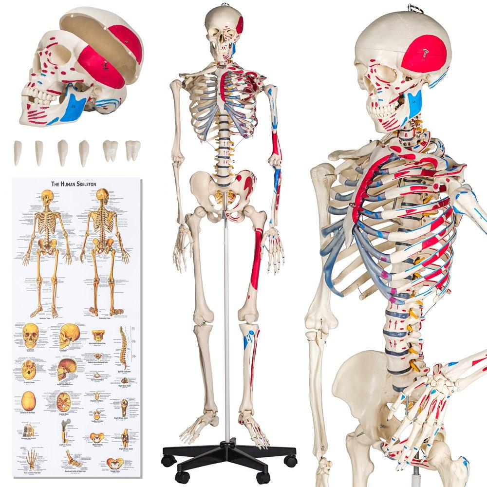 TecTake Anatomie Skelett lebensgroß inklusive Ständer - diverse ...