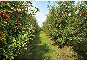 CSFOTO Apple Orchard Backdrop 7x5ft Autumn Harvest Red Apples Path Countryside Theme Party Background for Photography Adults Kids Photo Wallpaper