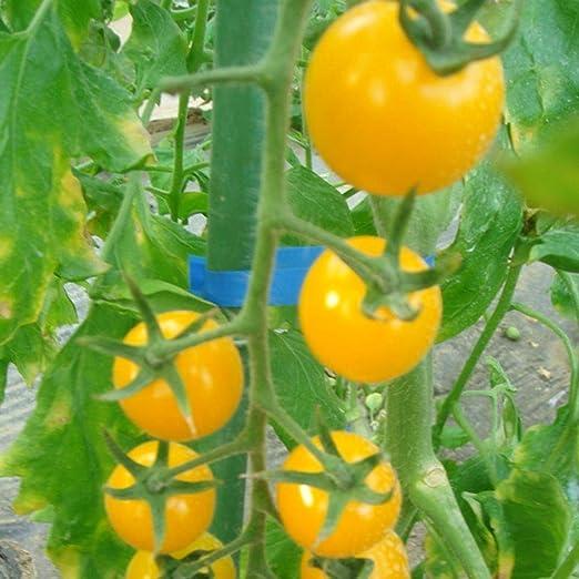FastDirect Semillas de Tomate Amarillo 50 PCS Semillas de Verduras ...
