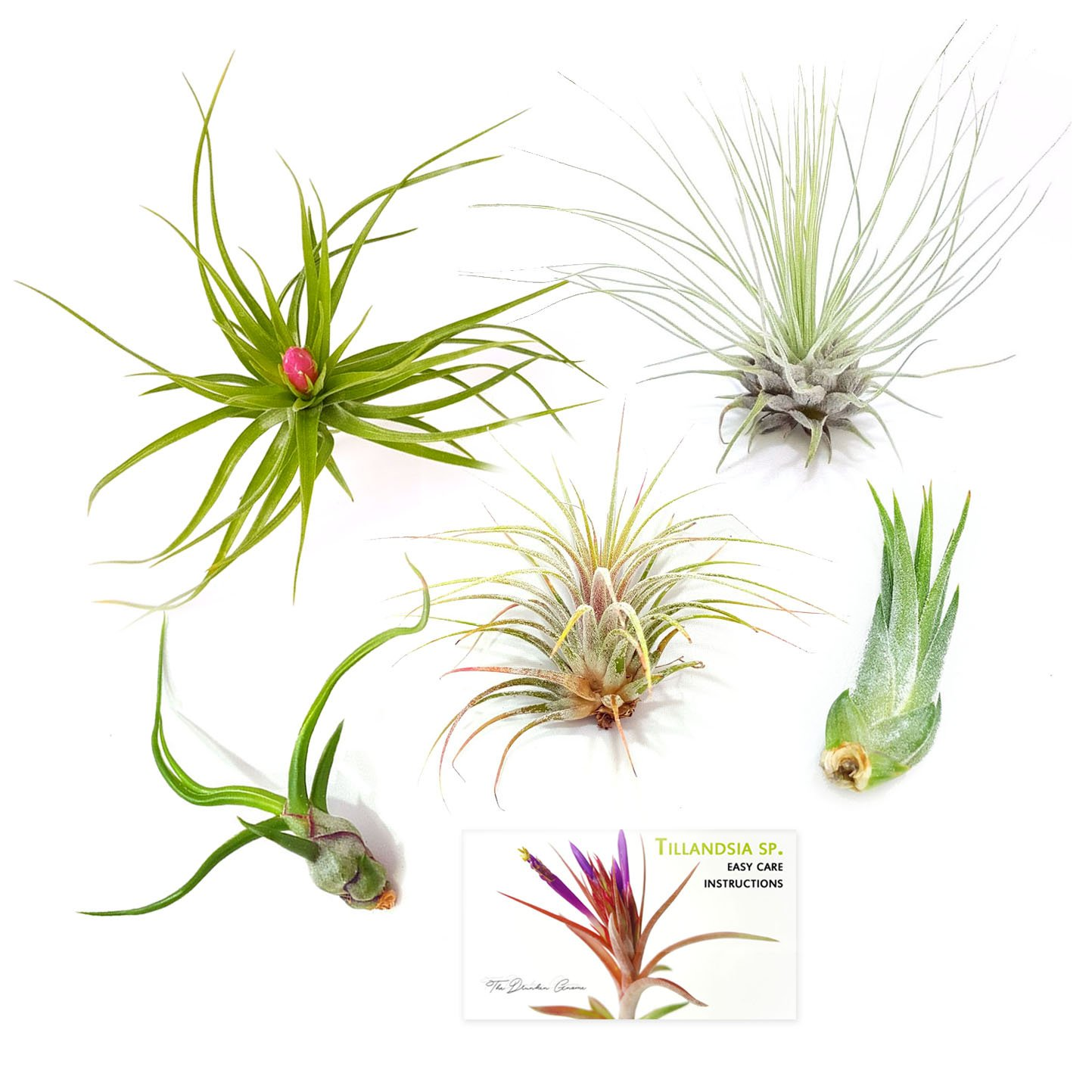 TDG Assorted Tillandsia Air Plants, Pack of 5, Small