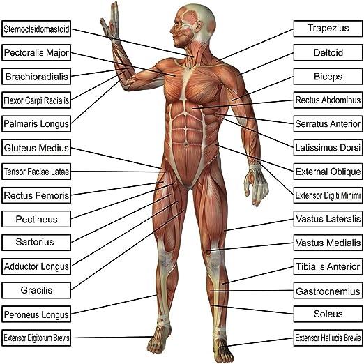 amazon.com: laminated 24x24 poster: anatomy of human body parts ...  amazon.com