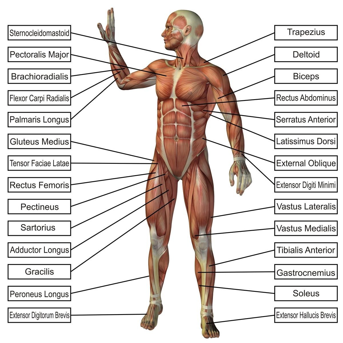 Amazon Laminated 24x24 Poster Anatomy Of Human Body Parts Body