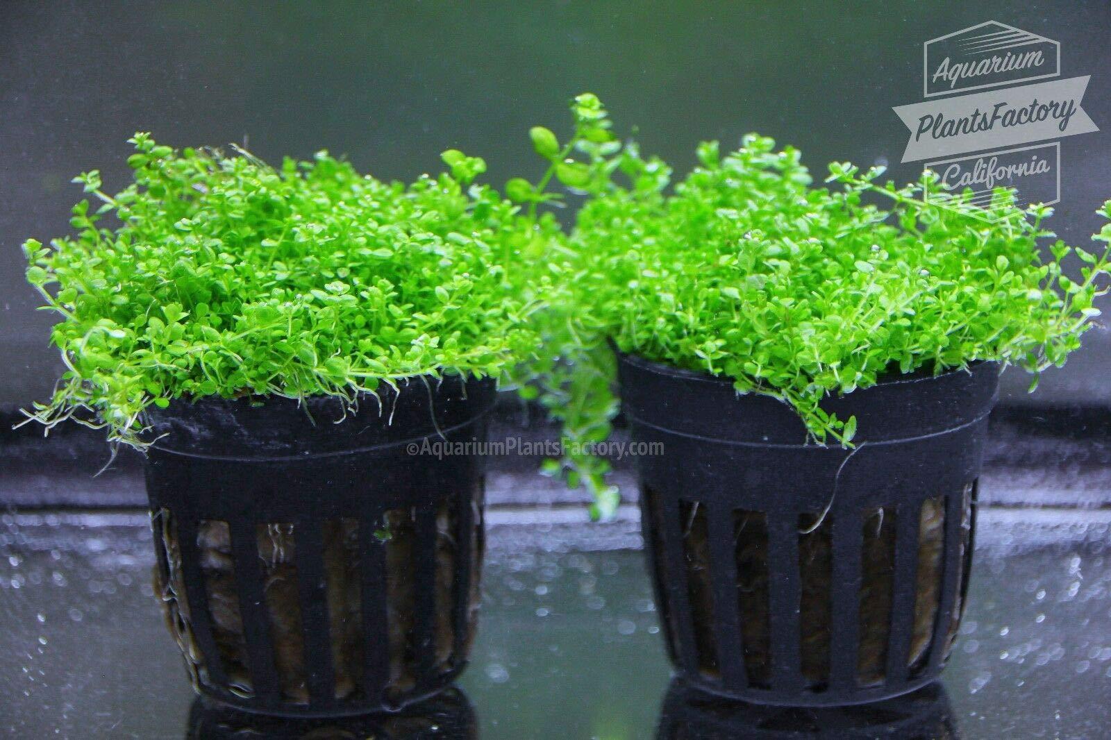 2X Pot Dwarf Baby Tears Hemianthus Callitrichoides Cuba Live Aquarium Plants by SS0156