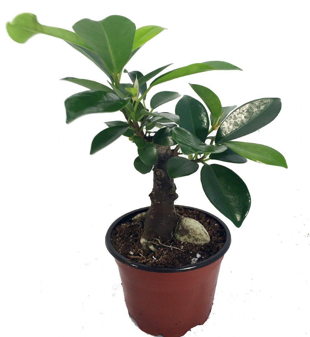 Amazon Com Chinese Ginseng Ficus Bonsai Tree 4 Pot House