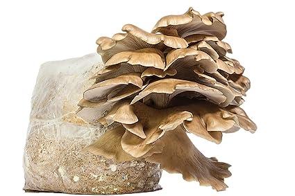 Indoor Mushroom Garden Amazon grow it yourself phoenix oyster mushroom kit for grow it yourself phoenix oyster mushroom kit for indoor or outdoor mushroom gardening workwithnaturefo