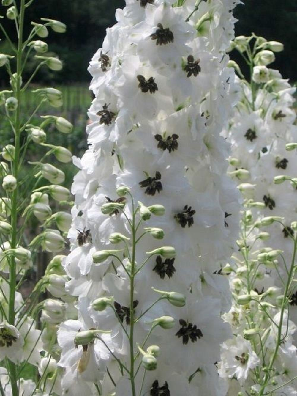 50 White Magic Fountain Delphinium Flower Seeds