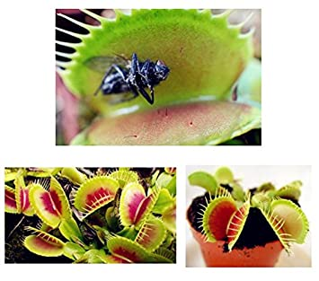 plante carnivore de la famille des droseracees