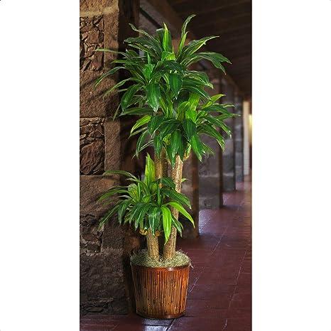 Amazon Com 50 Artificial Dracaena Plant In Planter Home Kitchen