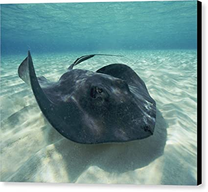 """A Southern Stingray, Dasyatis Americana"" by National Geographic, Canvas Print Wall"