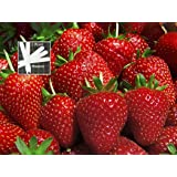 Organic Sparkle Strawberry 300 Seeds Upc 646263362518 + 1 Free Plant Marker