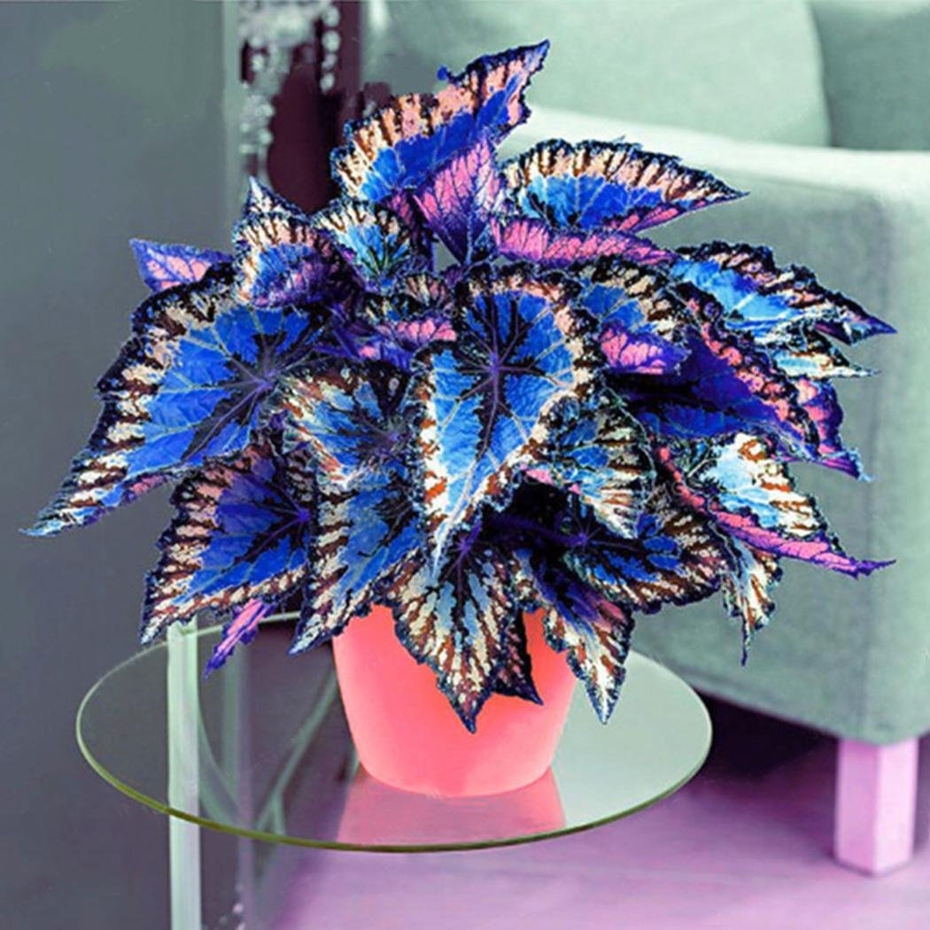 Erba foglia colorata seme di pianta di foglia Hardy perenne Rainbow piante ornamentali giardino Semi di Coleus 100pcs Cioler Seme di Fiore