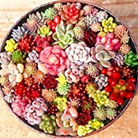 MURIEO jardín- 100 Unids Semillas Mixtas Suculentas Rare Living Stones Cactus Planta DIY Home Garden, Anti-Radiación…