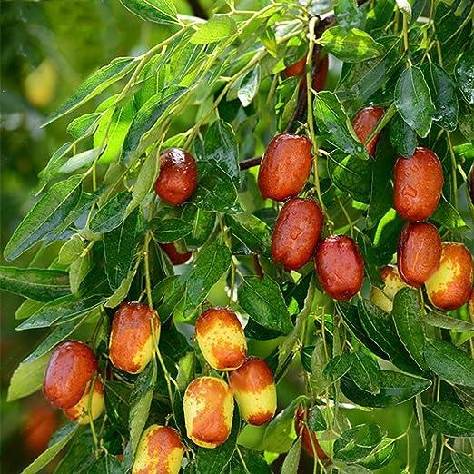 10 Unids/Pack Semillas de Frutas de Azufaifa Semillas de Plantas ...
