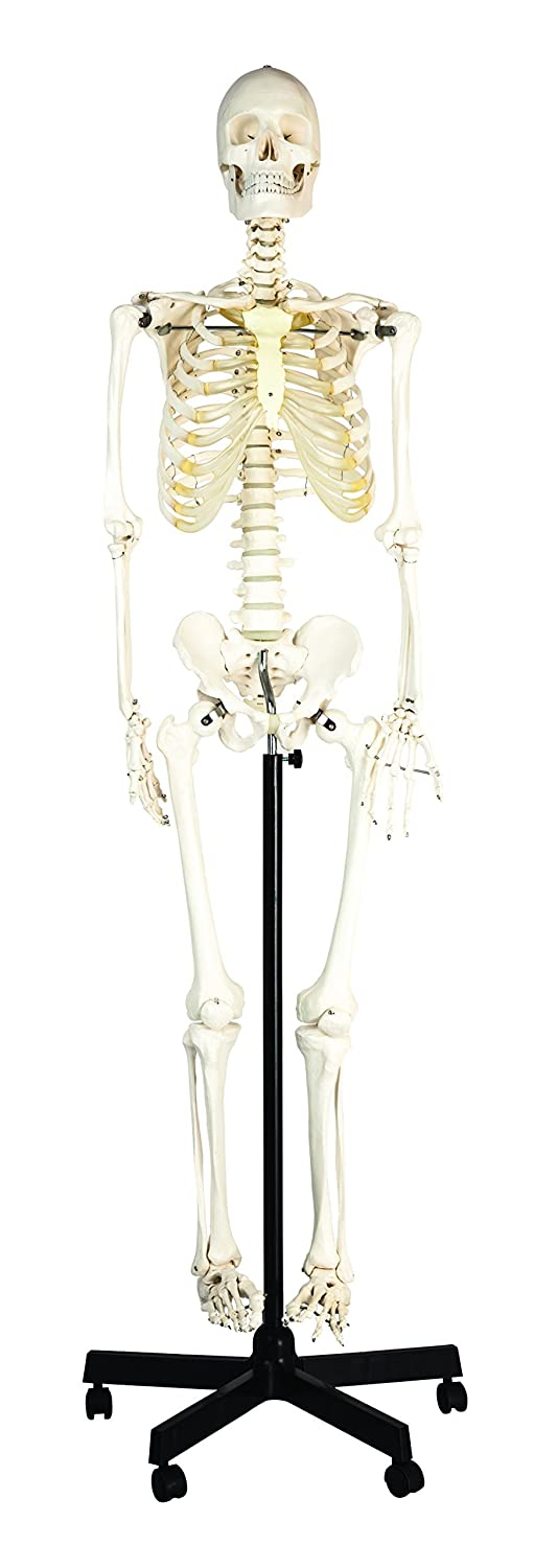 hBARSCI (HBAR62SKELETON) Articulated Life Sized Human Skeleton Model, Articulated Joints, Pelvic Mounted with Wheeled Base
