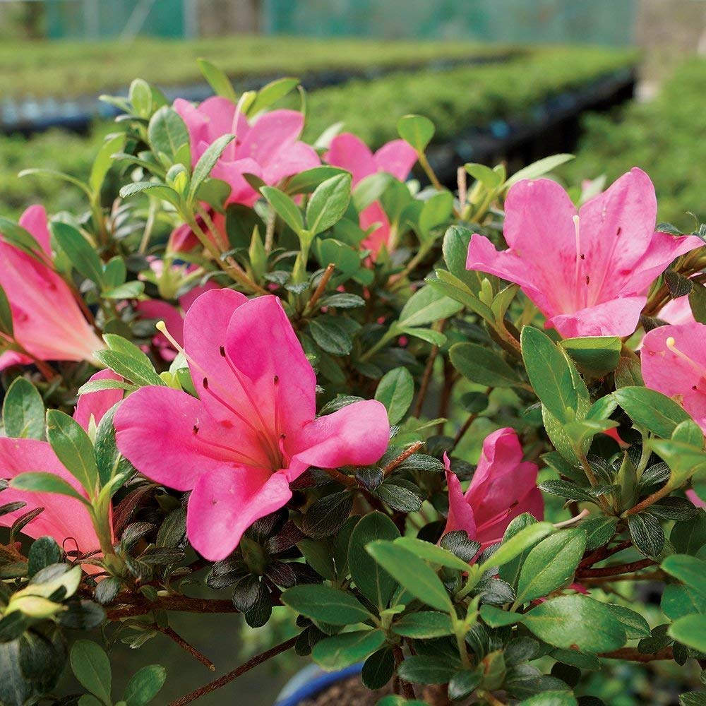 Brussel's Bonsai Live Satsuki Azalea Outdoor Bonsai Tree-5 Years Old 6'' to 8'' Tall with Decorative Container, Small, by Brussel's Bonsai (Image #3)