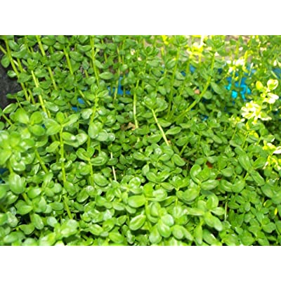 "Rau đắng - Bitter Herb - Polygonum aviculare - Ship in 3"" Pot : Garden & Outdoor"