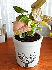 Rolling Nature Good Luck Pink Syngonium Plant in White Jar Aroez Ceramic Pot