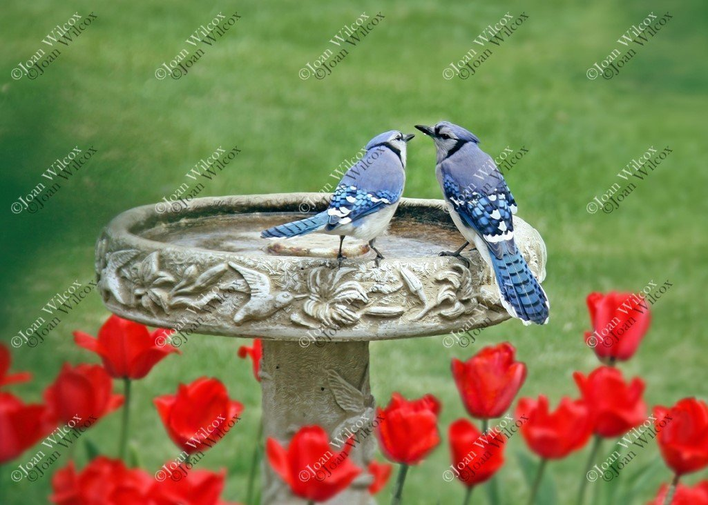 Spring Love Birds Blue Jays Birds at the Birdbath Red Tulips Nature Lovebirds Wildlife Original Fine Art Photography Wall Art Photo Print