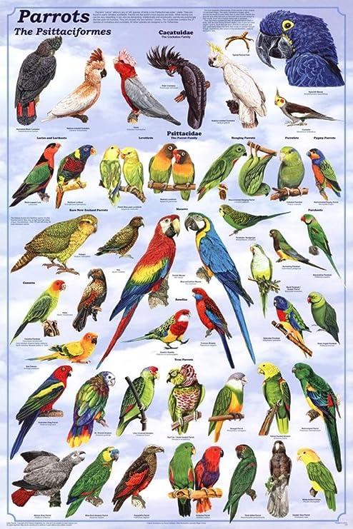 24 X 36 Parrots Poster
