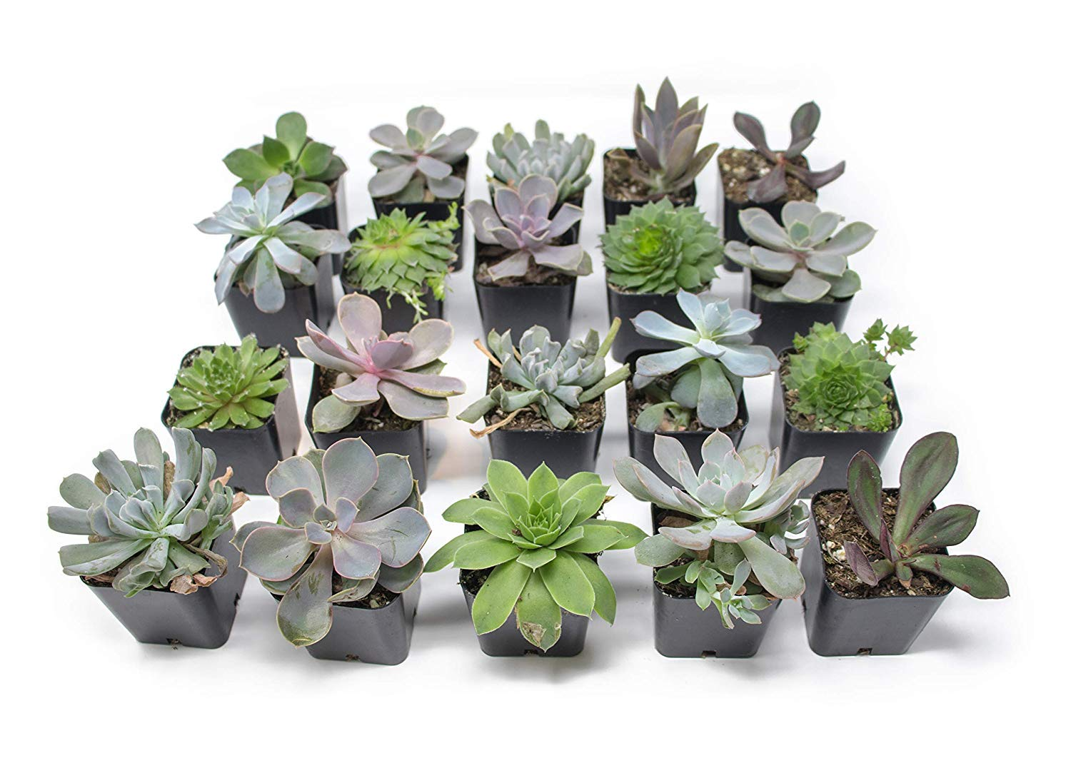 20 Live ''B-Grade'' Succulents | House Plants with Minor Flaws | Healthy Discounted Cheap Succulent Plants in Planter Pots with Soil by Plants for Pets by Plants for Pets (Image #3)