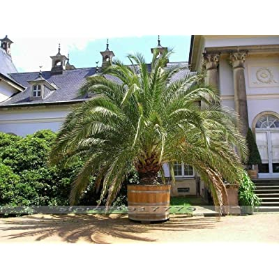 10 Seeds Phoenix canariensis Hardy Canary Islands Date Palm Seed Outdoor Plants : Garden & Outdoor