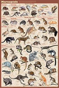 Marsupials Poster 24 x 36in