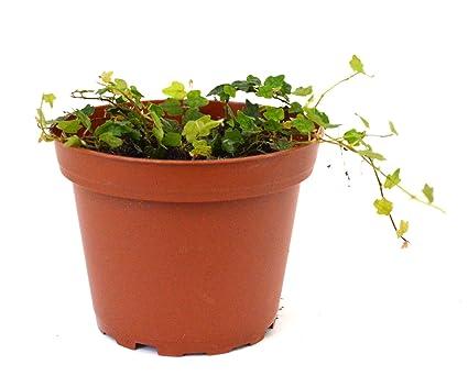 Amazon Com 9greenbox Mini Oakleaf Creeping Fig Terrarium