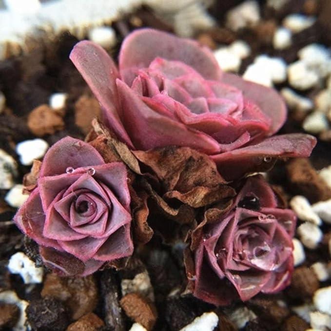Mymotto 100 Semillas De Plantas Suculentas De Rosa Aeonium Greenovia