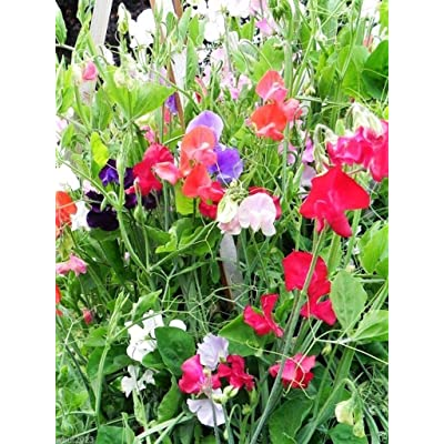 Perennial Sweet Peas (100 Seeds) - Mix, Known As Everlasting Pea Vine : Garden & Outdoor