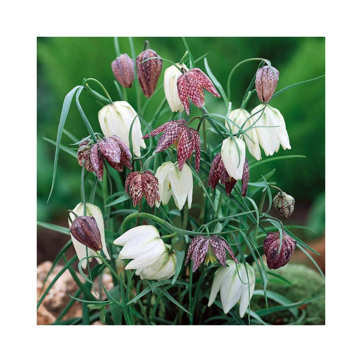 25 x Fritillaria Meleagris Mixed Spring Flowering Bulbs, TOP Size by Leegillard Plug Plants Express Limited