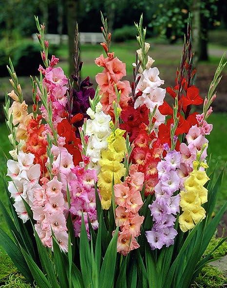 Amazon.com: 100 Mixed gigante Gladiolus bombillas 12 cm ...