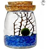 Marimo Moss Ball in Glass Jar by Luffy: Includes Gorgeous Green Marimo, Sea Fan and Beautiful Blue Pebbles - Meaningful Gift - Symbol of Love & Low maintenance - Adds serenity to your home corners