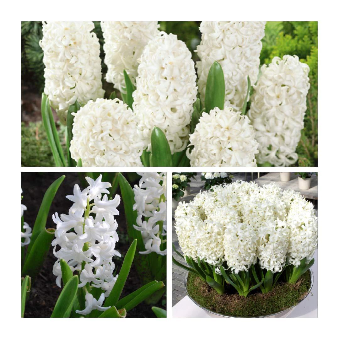 Humphreys Garden Hyacinth Jacinthes Carnegie x 10 Bulbs Bulbes