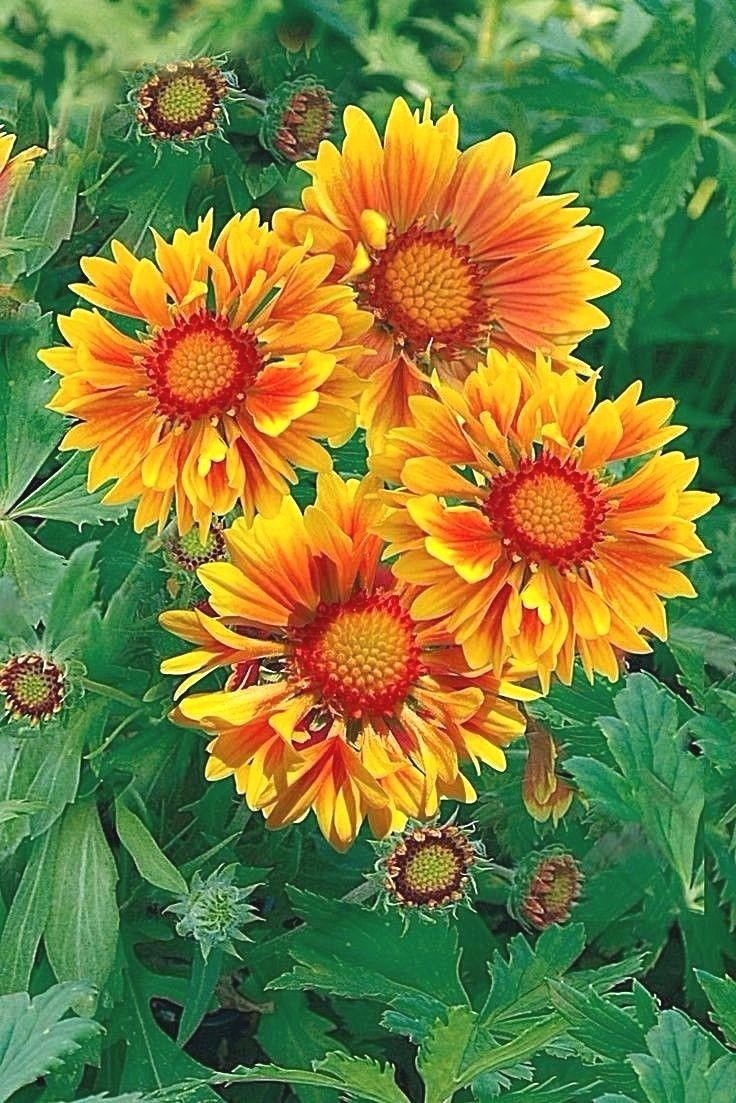Amazon Blanket Flower Yellow Orange 30 Seeds Garden Outdoor
