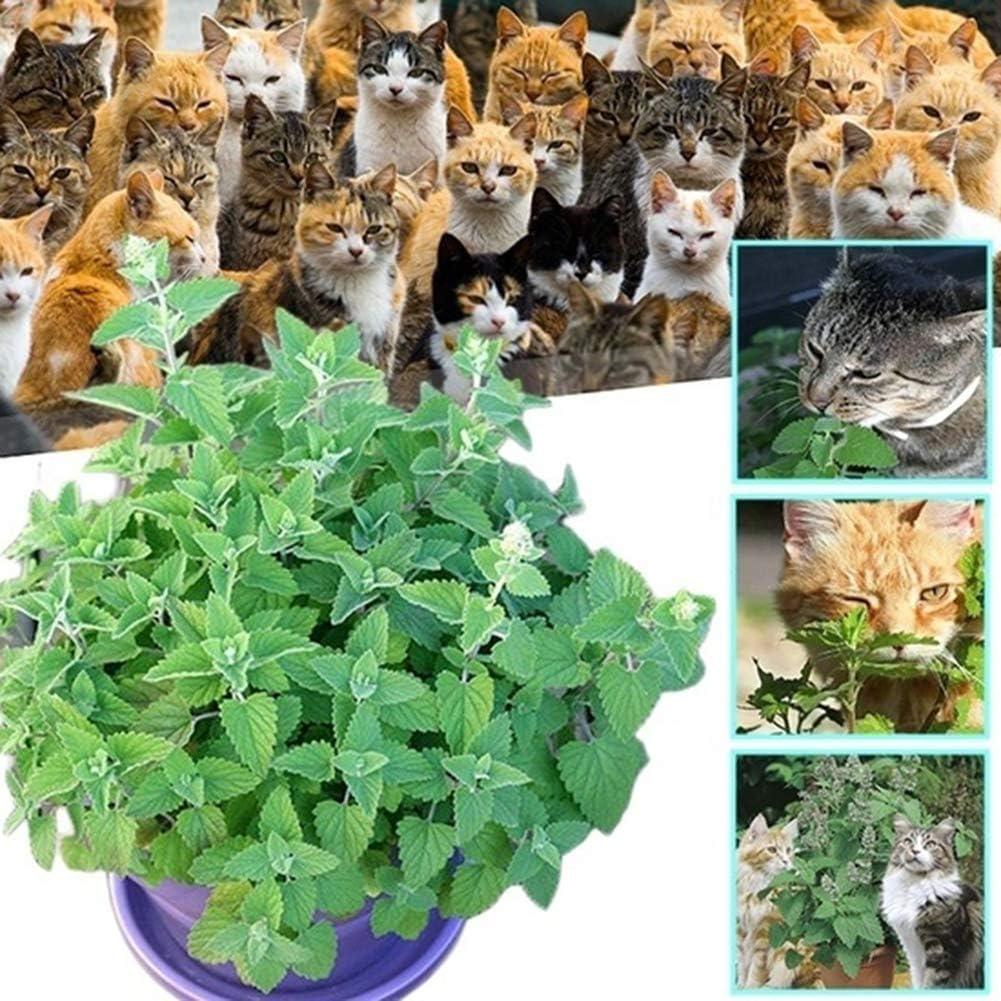 Duk3ichton Nepeta Cataria Plantes Graines 250//500 Pcs Nepeta Cataria Graines Cat Herbe /à La Menthe Cat Herbe Plante Jardin Bonsa/ï D/écor Graines Catnip 500pcs