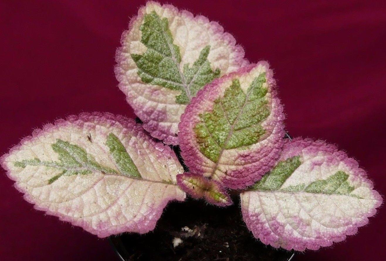 Episcia Pink Dreams 2'' Pot Gesneriad Terrarium