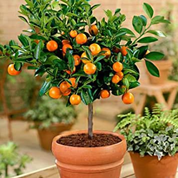 FastDirect Semillas de Naranjas Arboles 50 PCS Semillas de Naranjas Bonsai para Jardín, Huerto,