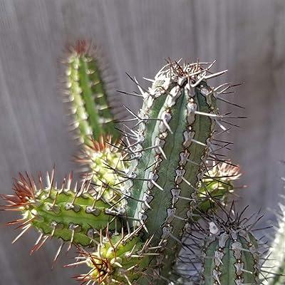 Euphorbia baioensis Cactus Cacti Succulent Real Live Plant : Garden & Outdoor