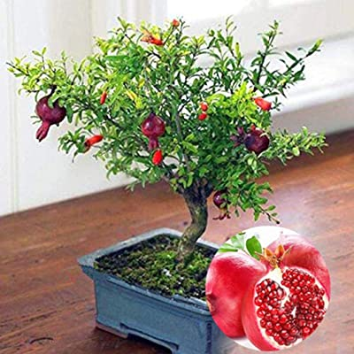LEANO Garden - 20PCS Dwarf Pomegranate Tree Seeds - Origanic Fruit Tree Potted Plant for Home Garden Decoration and Eating : Garden & Outdoor