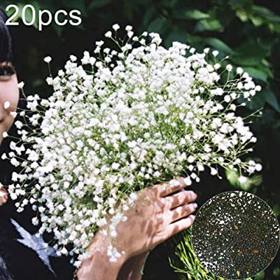 Gilroy 20Pcs Babysbreath Gypsophila Seeds Flower Ornamental Plant Home Garden Balcony Decor for Planting for Indoor and Outdoor : Garden & Outdoor