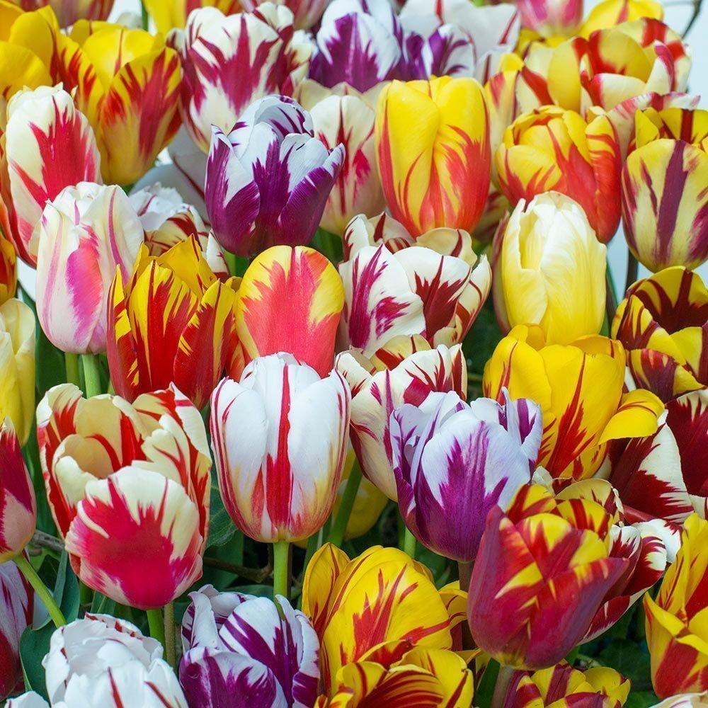 SILKSART 10 Tulip Bulbs Perennial Bulbs for Garden Planting Beauty Flower--SHIPPING NOW!!! by SILKSART