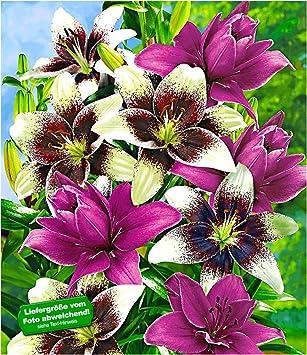 Baldur Garten Winterhart Lilien Mix Tango Lilac 5 Zwiebeln