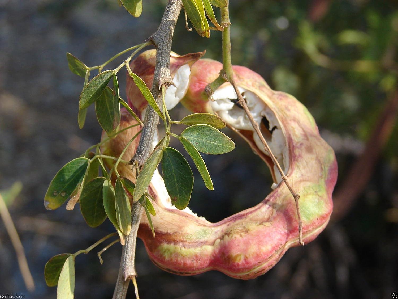NEW 10 seeds Pithecellobium dulce Fruit Tree Seeds Madras Thorn