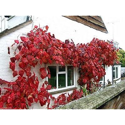 Crimson Glory Vine (Vitis Coignetiae) 10 Seeds - Perennial : Garden & Outdoor